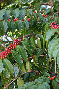 Agriculture, coffee, coffee bean, coffee beans, coffee plantation, coffee plantations, coffee growing, coffee berry, coffee berries, coffee plant, coffee plants, berry, berries.